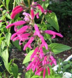 Curtiflora.,,