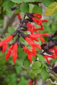 Gesneriiflora..-..-