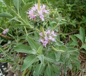 Leucophylla---cropped-