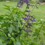 purple-maj.