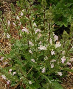 Tarxicifolia