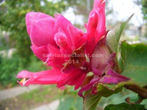 Wagneriana-Deep-Pink