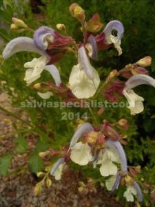 Chameleaegnea-&-foliage