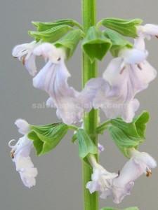 cardiophylla