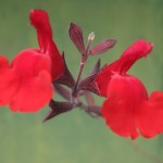 raspberrry greggii